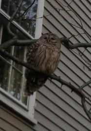 Drowsy owl.