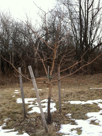 One of the apple trees (honey crisp), looking ready to leaf again.