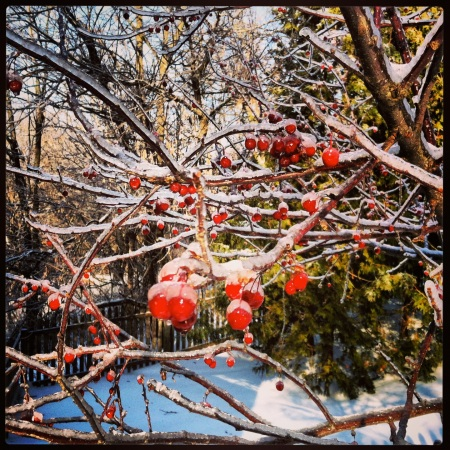 Frozen crab apples, Christmas 2013.