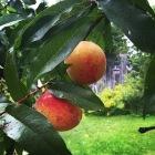 peach7